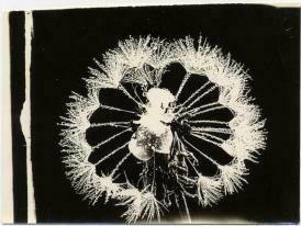 Wilson A Bentley Vintage Photomicrographs